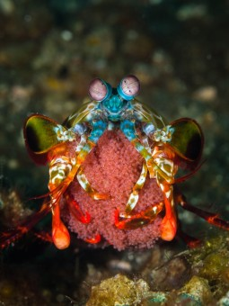 Peacock Mantis Shrimp (with eggs) / Odontodactylus scyllarus